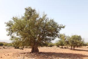 arganier - huile d'argan
