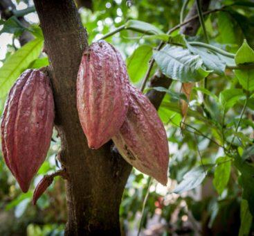 Le cacao, la fève aux milles bénéfices !