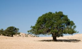 L'argan, un trésor marocain à préserver