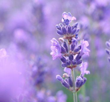 La lavande : de la fleur à l'huile essentielle
