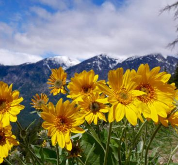 L'arnica, la plante incontournable pour toute la famille