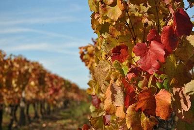 vigne rouge qui contribue à l'amélioration de la circulation sanguine
