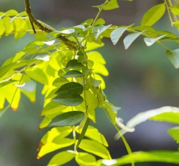 Qu'est-ce que le fer végétal ?