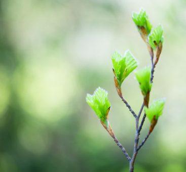 La gemmothérapie, le bien-être par les bourgeons