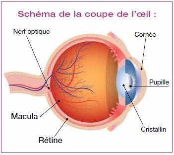 schema-oeil