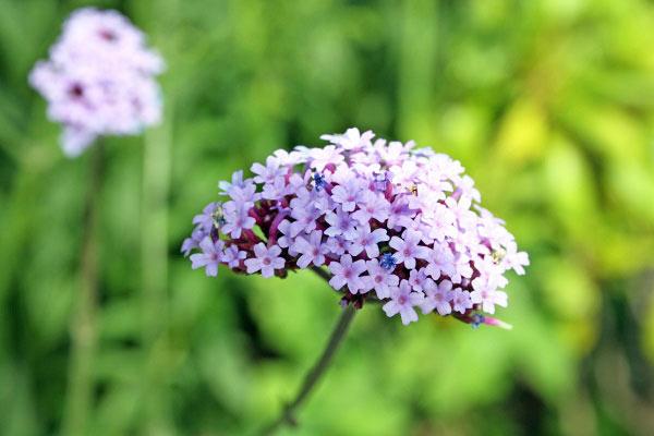 Verveine officinale ou verveine odorante : 2 herbes sacrées aux mille qualités