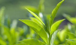 Allier minceur et plaisir... grâce au thé vert !