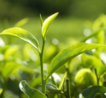 Le thé, une boisson aux mille et une vertus