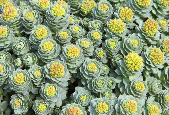 rhodiola-fleurance-nature