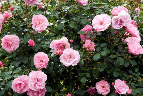 rose-cosmetiques
