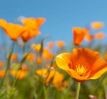 Les bienfaits de l'eschscholzia, une plante pour lutter contre le stress