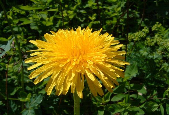 plantes-minceur-pissenlit