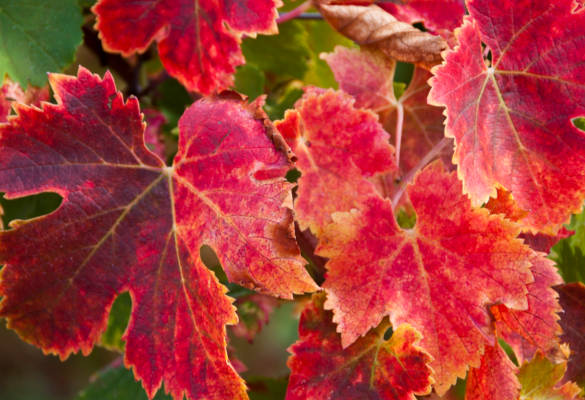 Quels sont les bienfaits de la vigne rouge ?