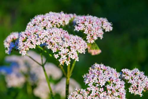 Fleur de valériane